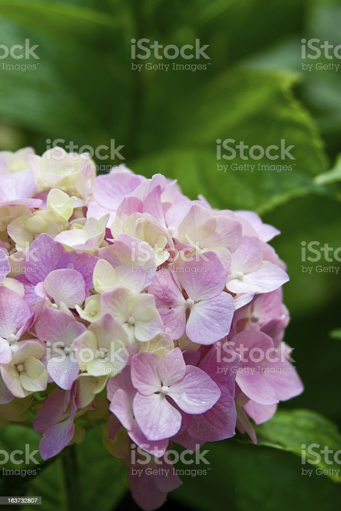 hydrangea flower royalty-free stock photo