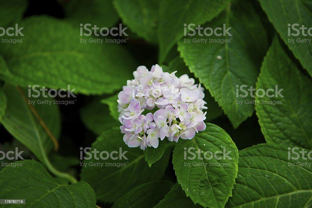 hydrangea flower royalty-free stock photo
