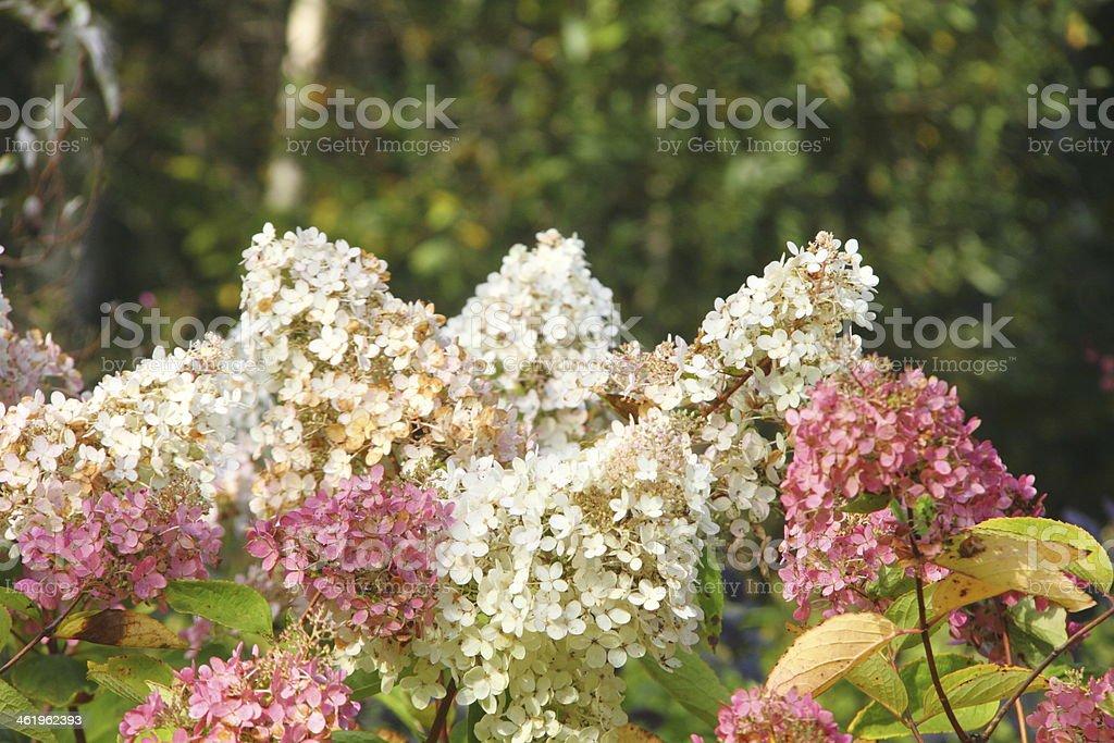 Hydrangea. Flower. stock photo