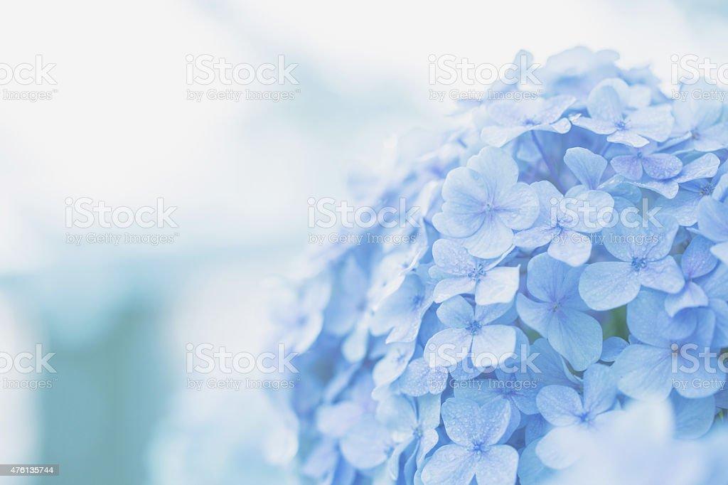 hydrangea flower stock photo