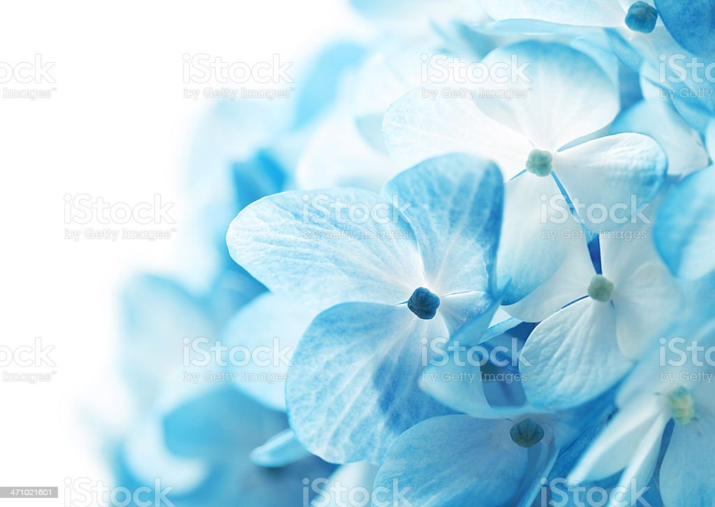 Hydrangea Flowers Background royalty-free stock photo
