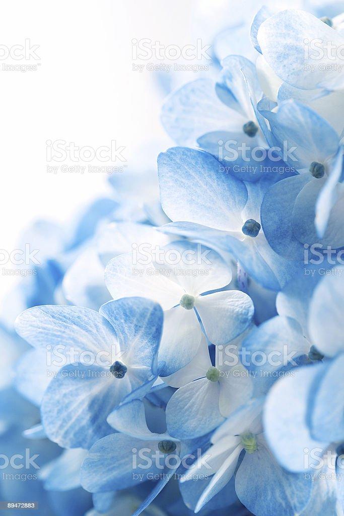 Hydrangea flowers background stock photo