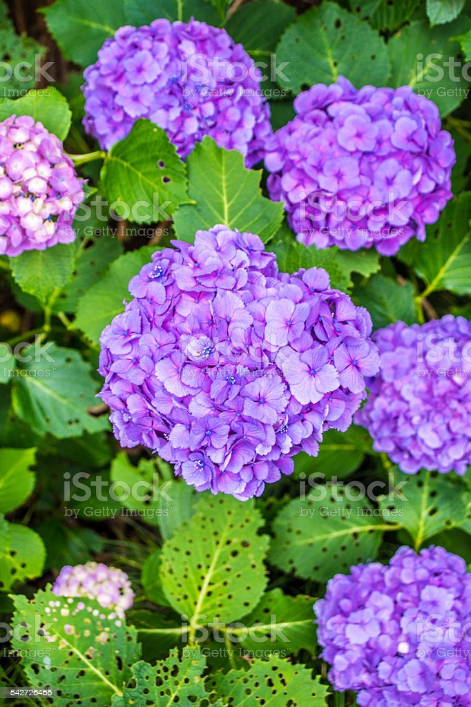 I photographed the hydrangea flowers