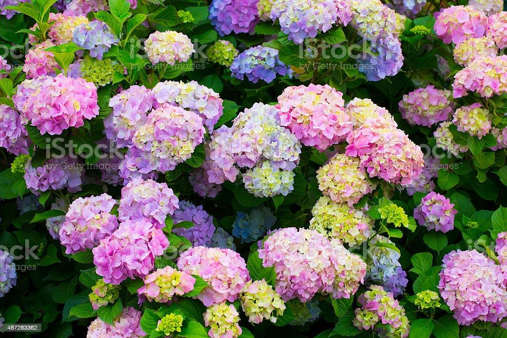Hydrangea flowers in a garden stock photo
