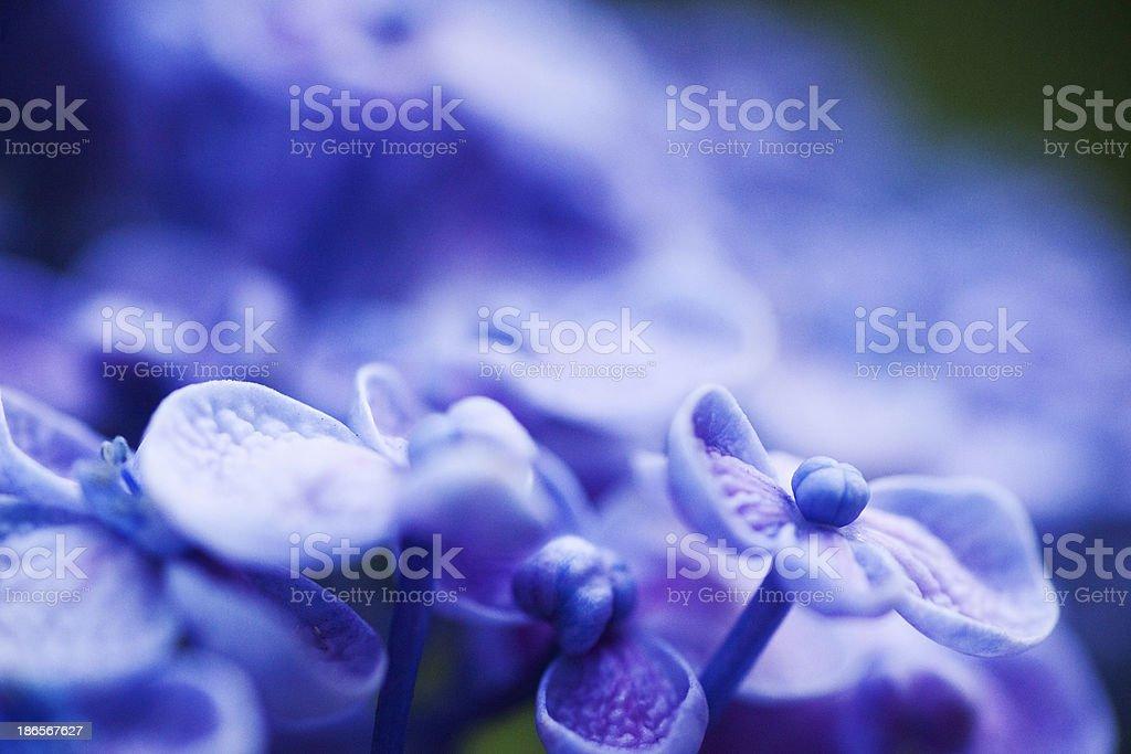 Hydrangea Flowers royalty-free stock photo