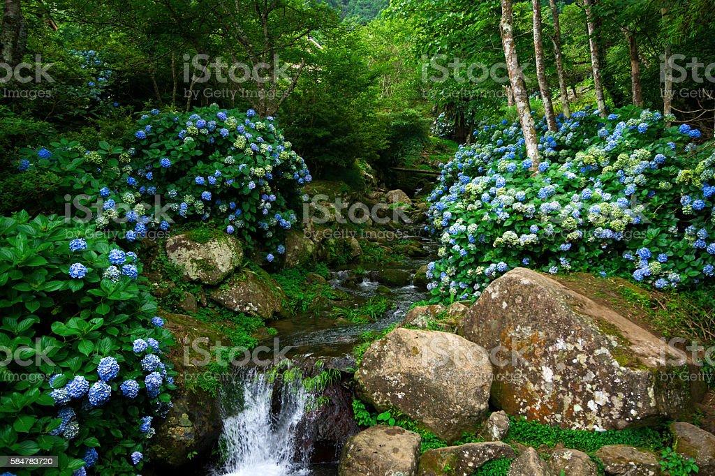Hydrangea flowers stock photo