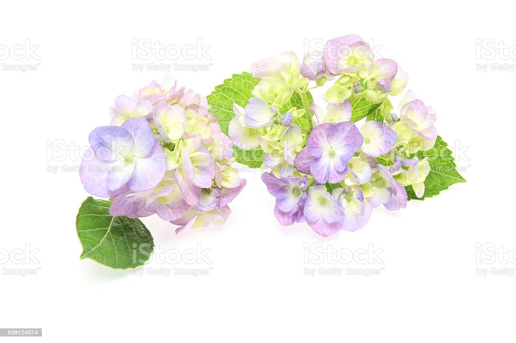 Hydrangea in a white background stock photo