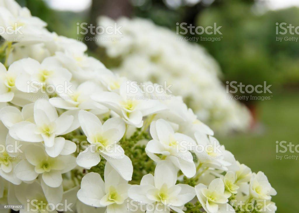 hydrangea in bloom (kashiwaba-ajisai) stock photo