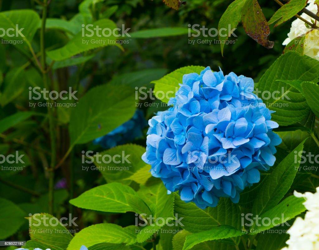 Hydrangea is blue in the garden. stock photo