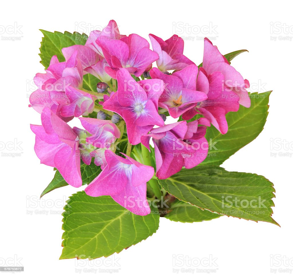 Hydrangea isolated - inclusive clipping path stock photo