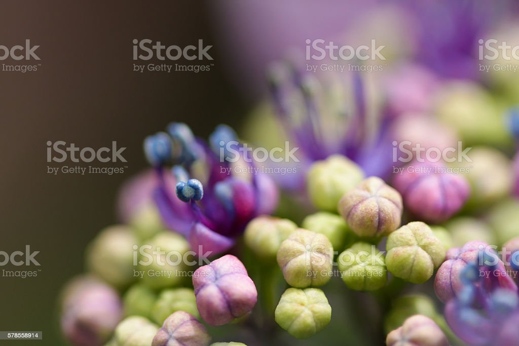 Hydrangea Lacecap Flower Buds Opening stock photo