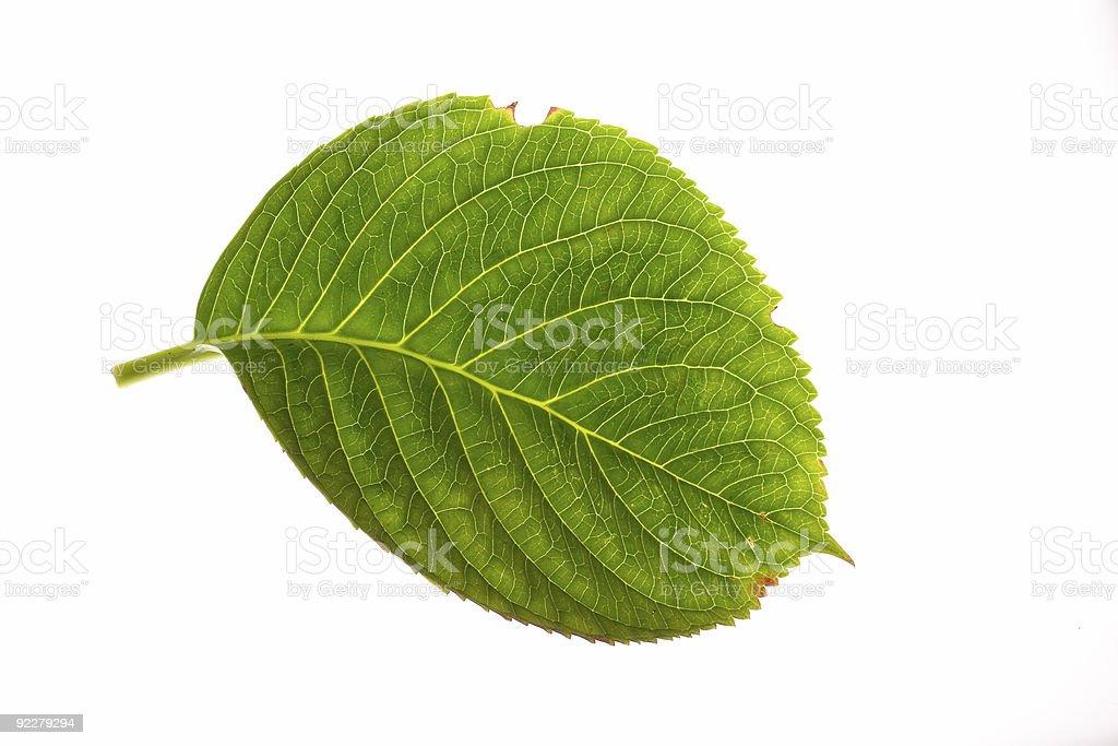 Hydrangea Leaf on White royalty-free stock photo