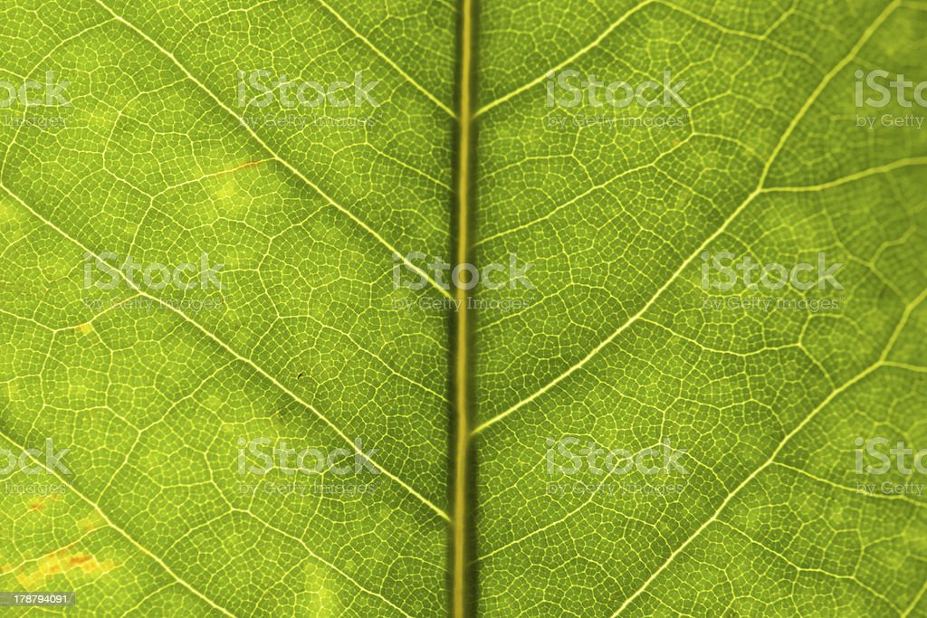 hydrangea leaf stock photo