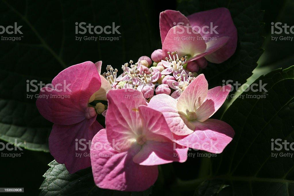 Hortensia macrophylla hortensis foto de stock libre de derechos
