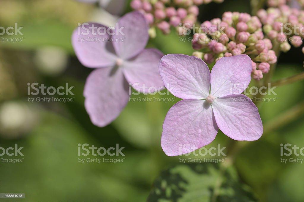 Hydrangea macrophylla Tricolor stock photo