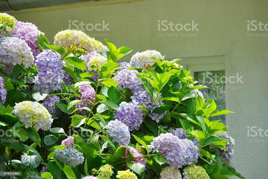 Hydrangea or Hortensia stock photo
