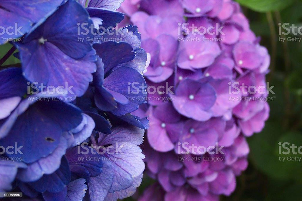 Hydrangea pair stock photo