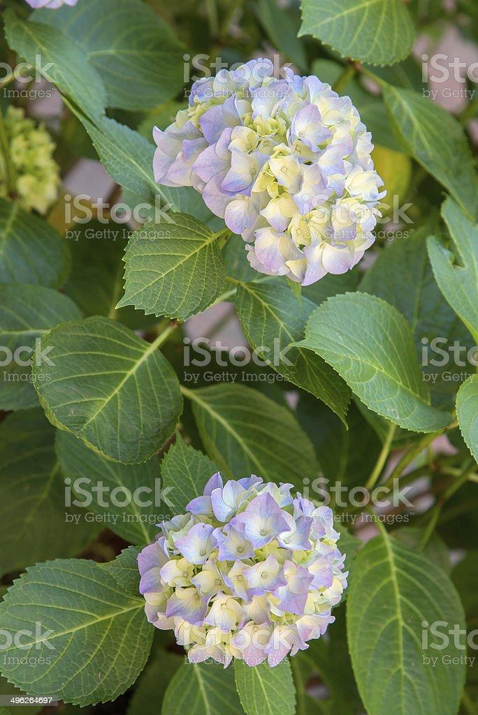 Hydrangea royalty-free stock photo