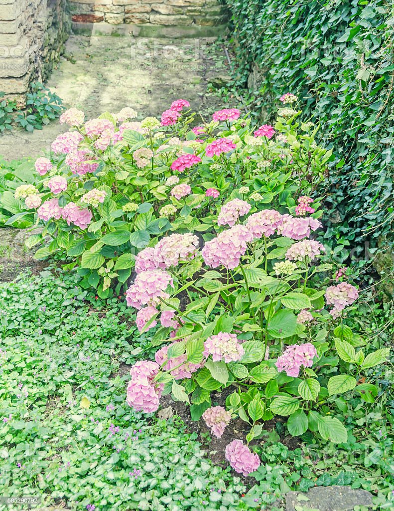 Hydrangea pink bush flowers, common names hydrangea or hortensia,...