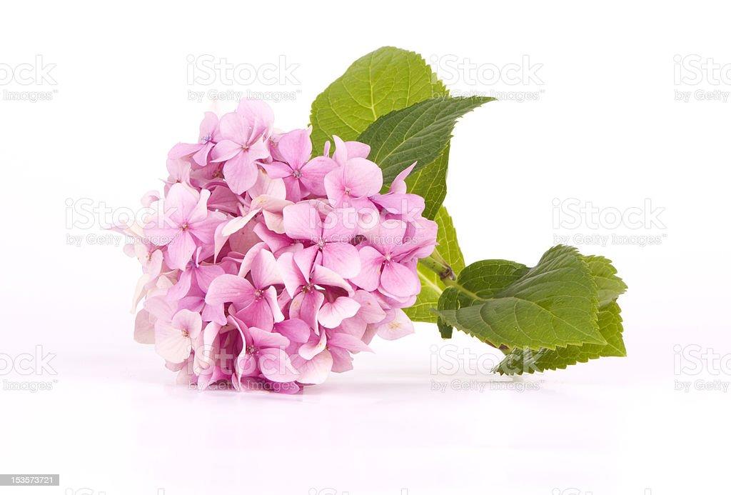 Hydrangea pink stock photo