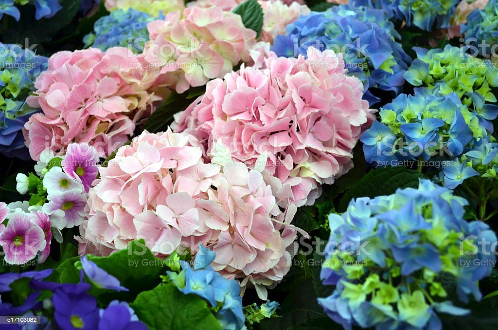 hydrangea plants in pink and blue stock photo