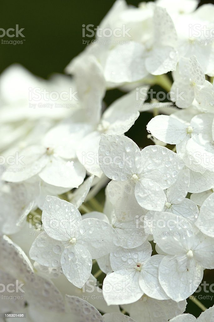 hydrangea with water drops royalty-free stock photo