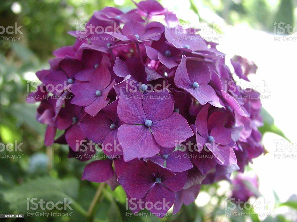 hydrangea_001 royalty-free stock photo