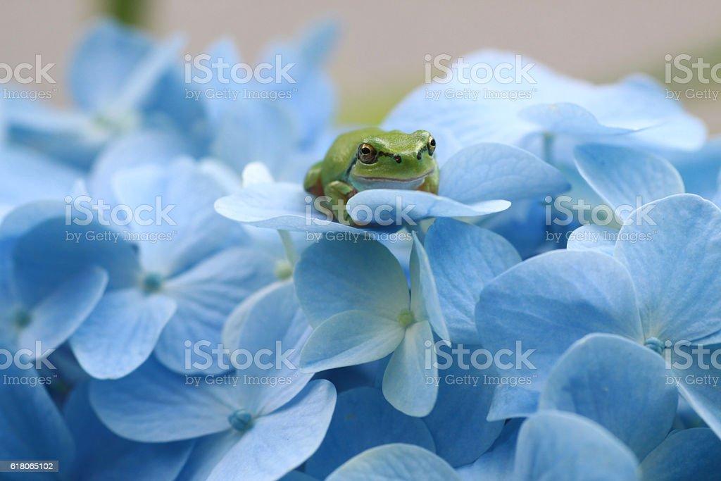 Hydrangea and  a tree frog stock photo