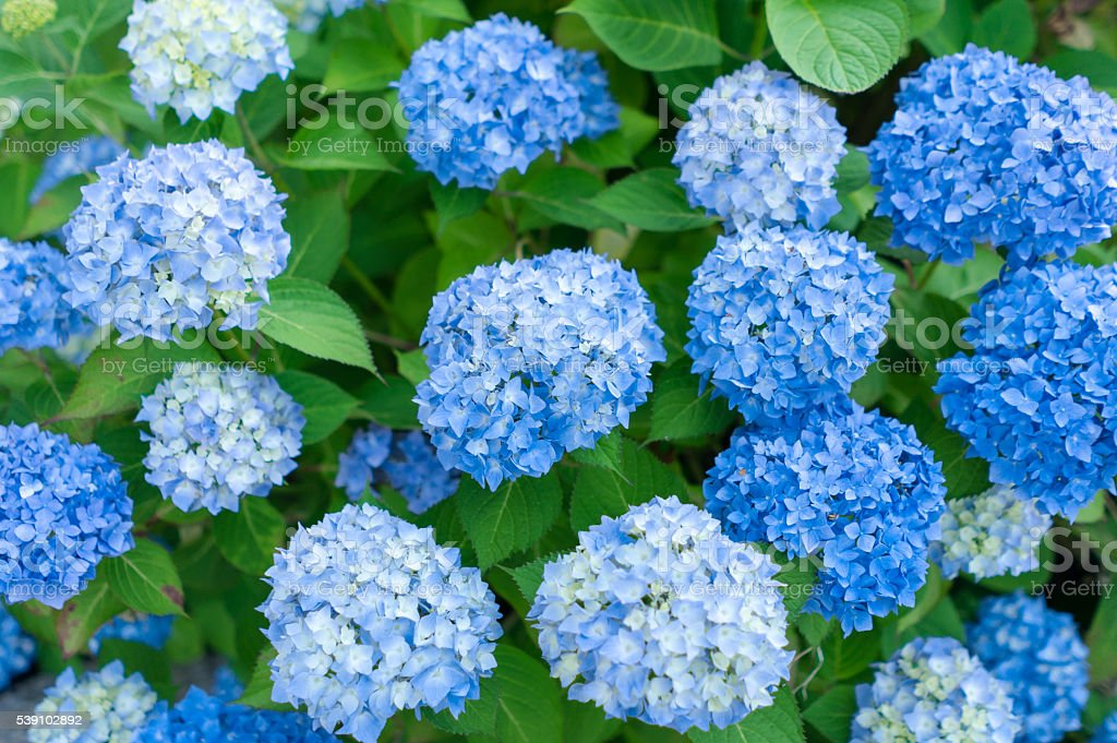 Hydrangeas flowers stock photo