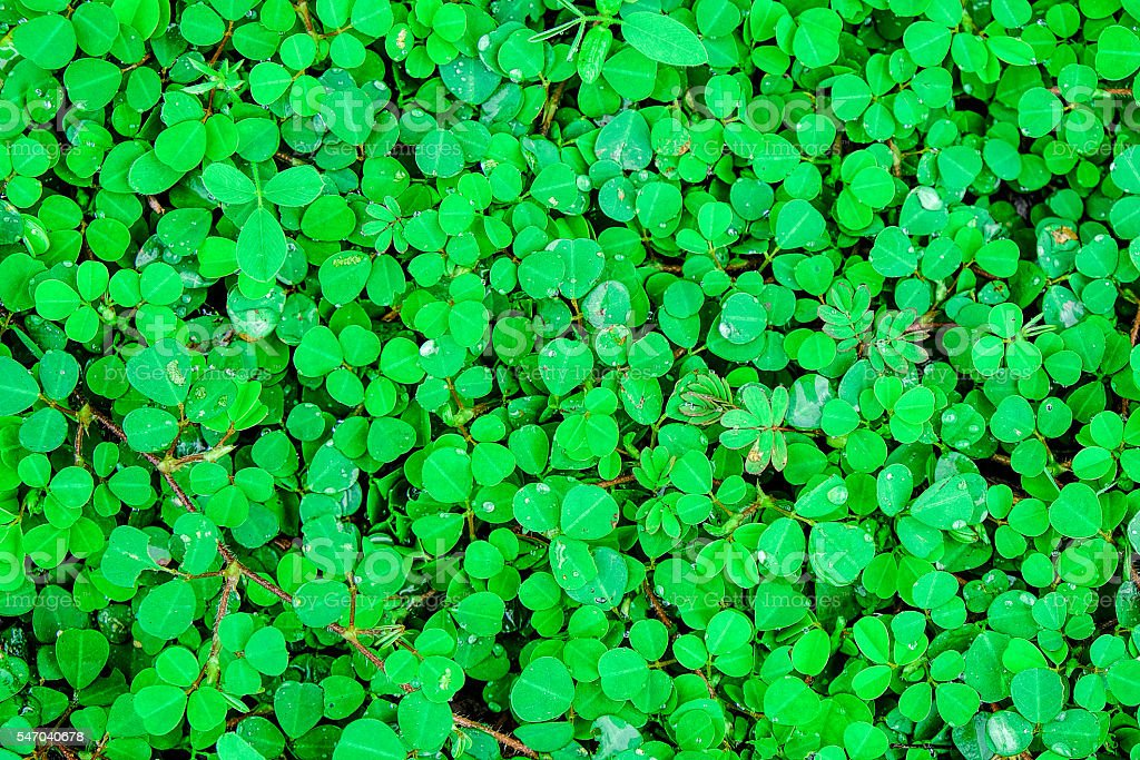 Hydrocotyle sibthorpioides Lamk,texture background, yard background stock photo