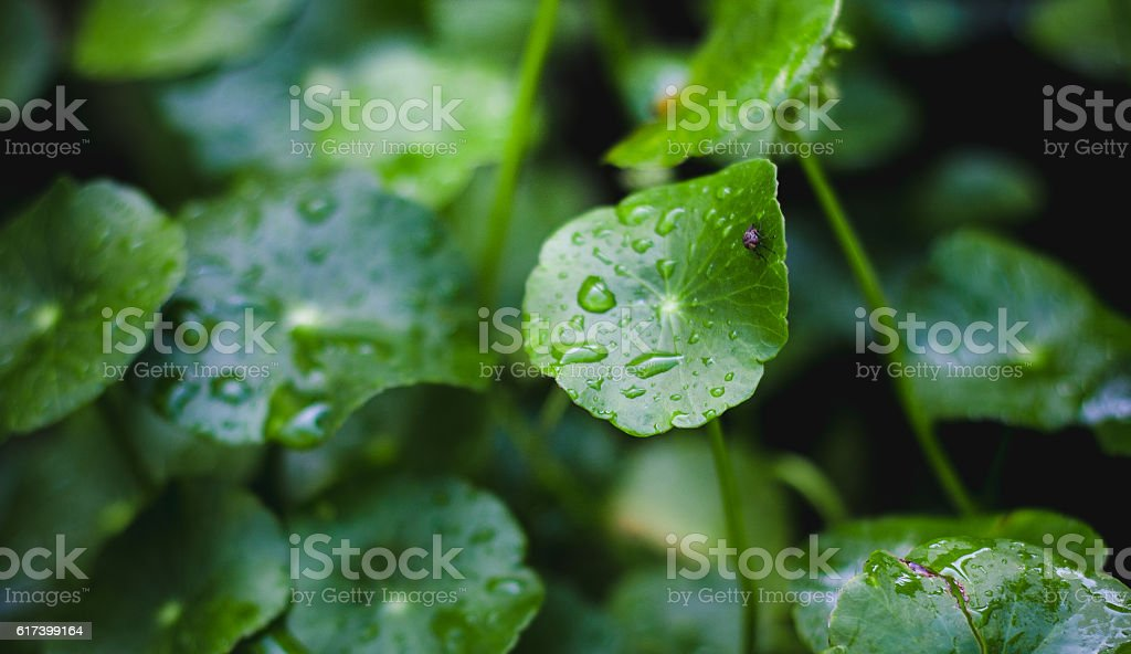 Hydrocotyle umbellata texture or background. stock photo