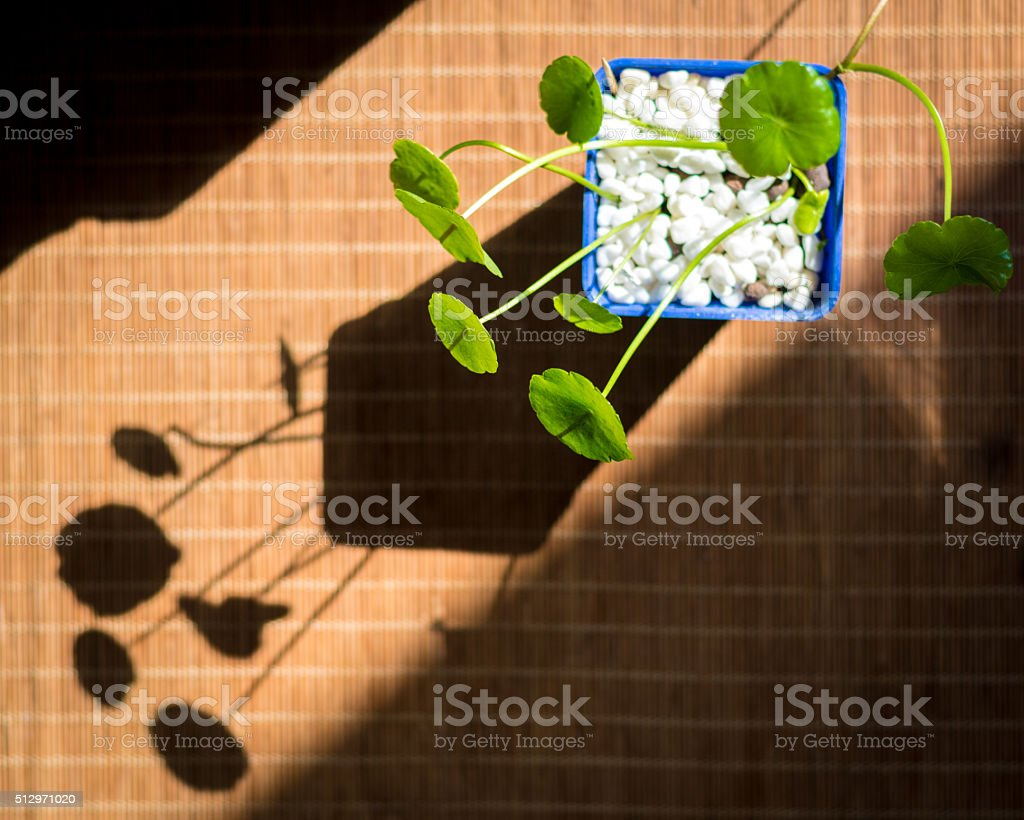 Hydrocotyle vulgaris stock photo