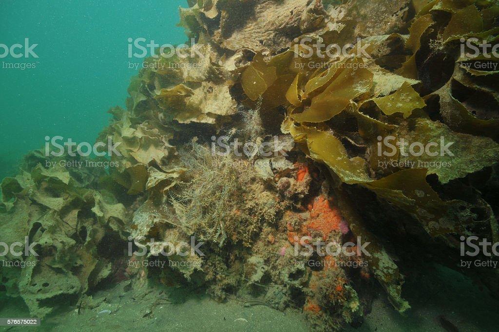 Hydroids on rock under kelp stock photo