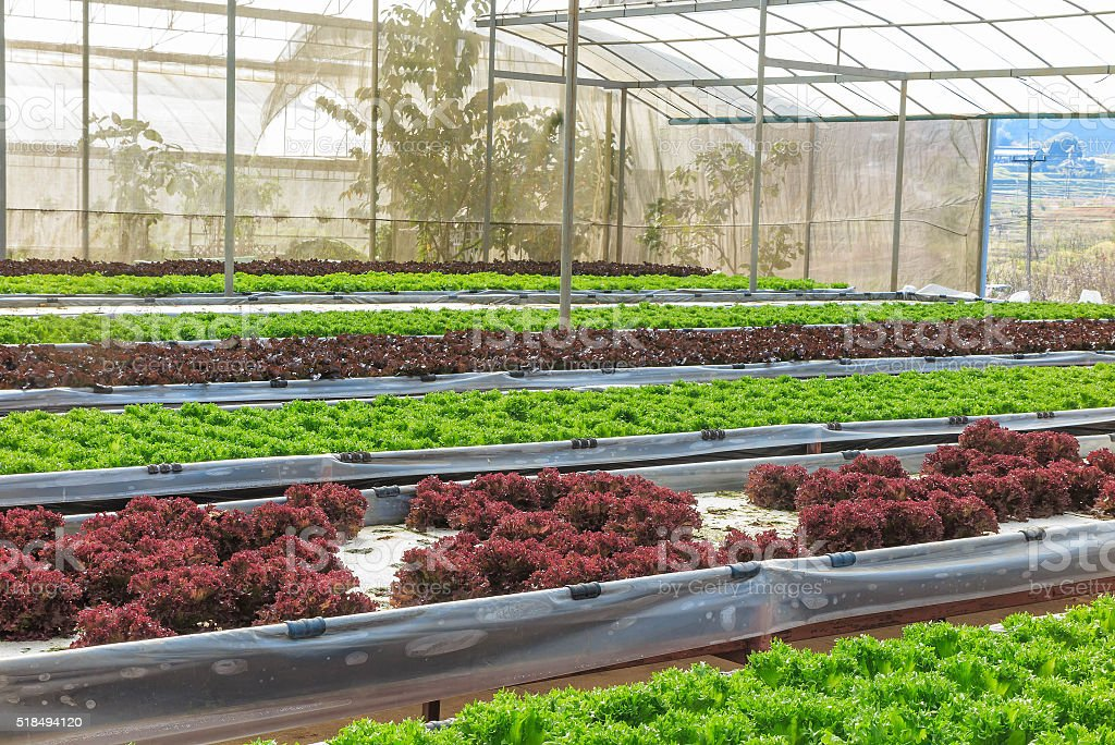 Hydroponic and organic lettuce salad vegetable growing in greenh stock photo