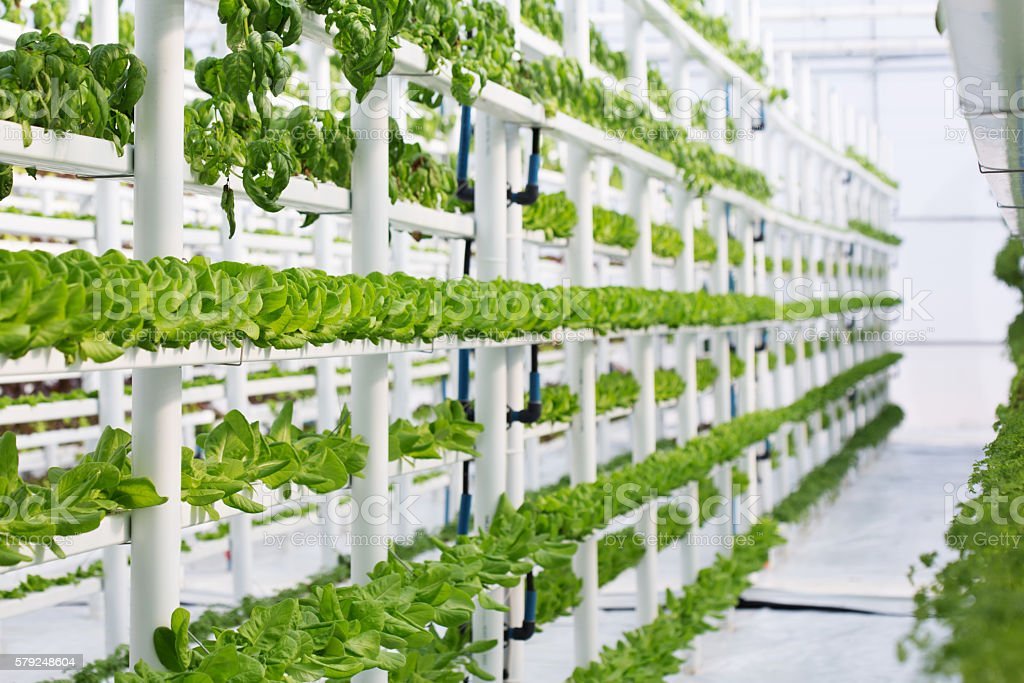 Hydroponic Butter Lettuce Farm stock photo