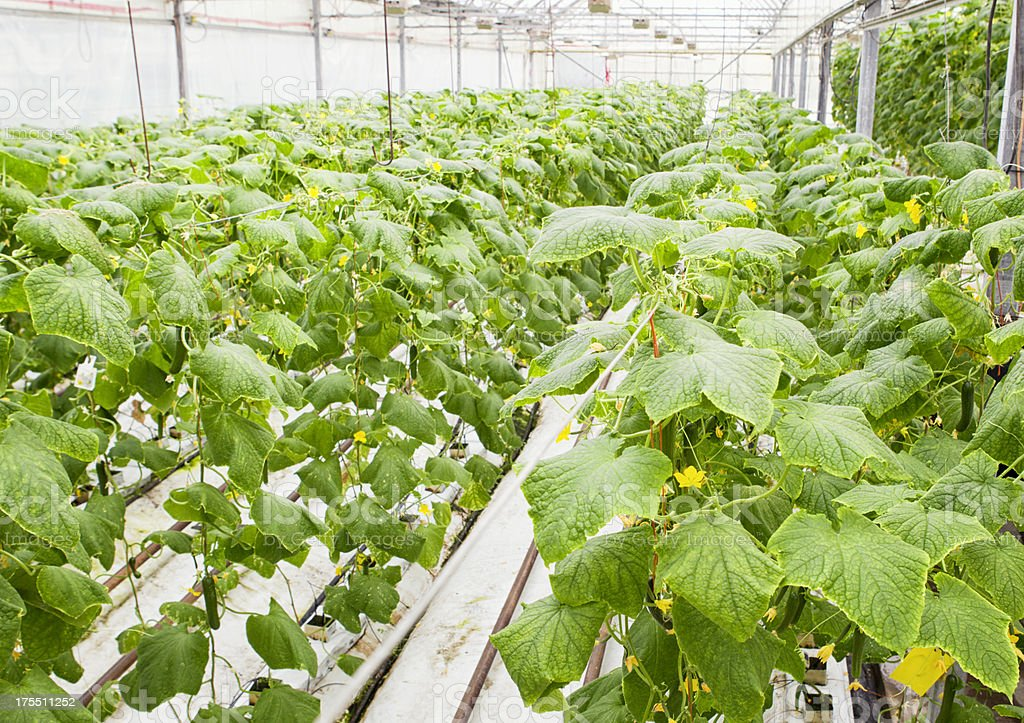 Hydroponic Cucumbers in Commercial Greenhouse stock photo