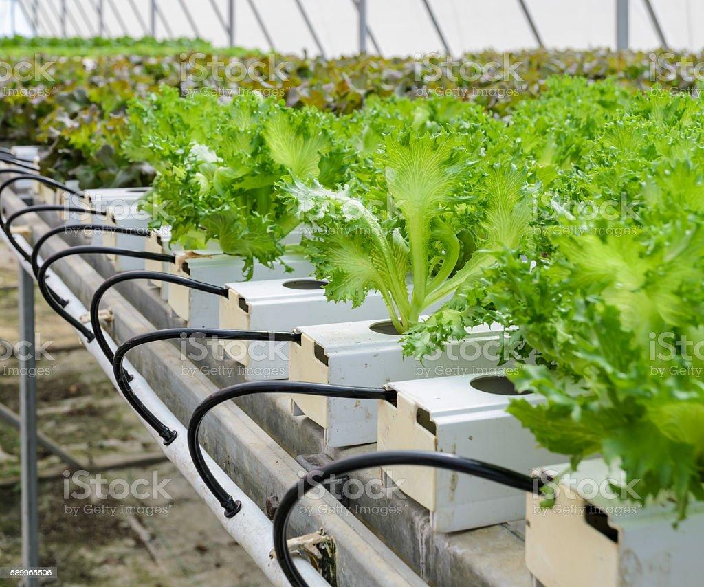 Hydroponic Fillie Iceburg leaf lettuce vegetables plantation stock photo