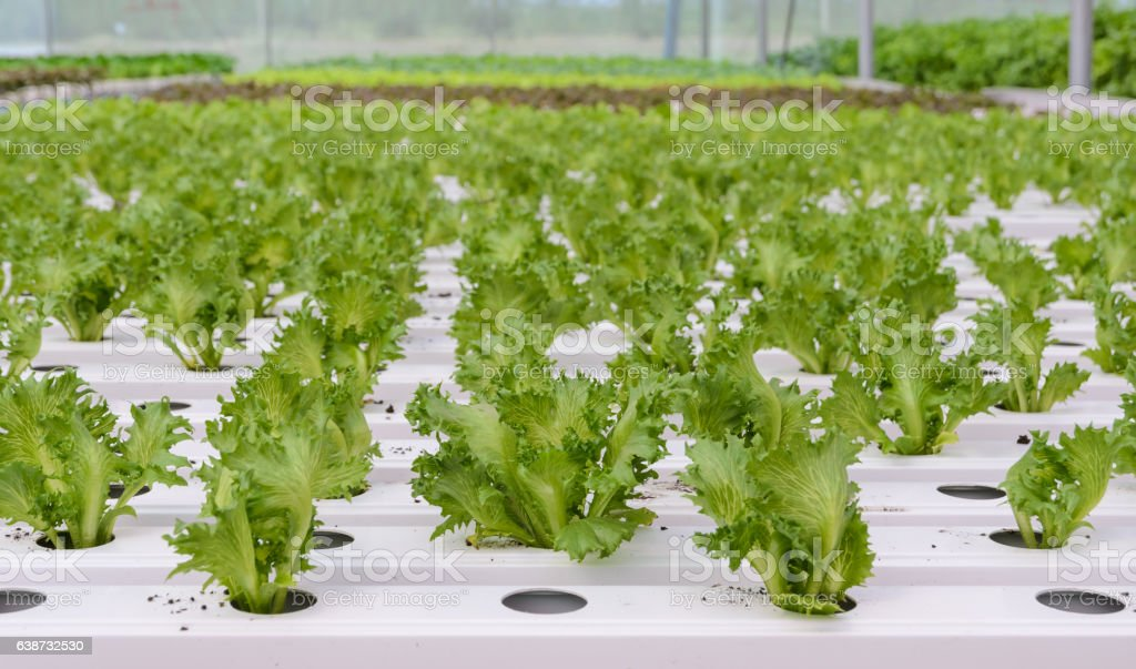Hydroponic Fillie Iceburg leaf lettuce vegetables plantation stock photo