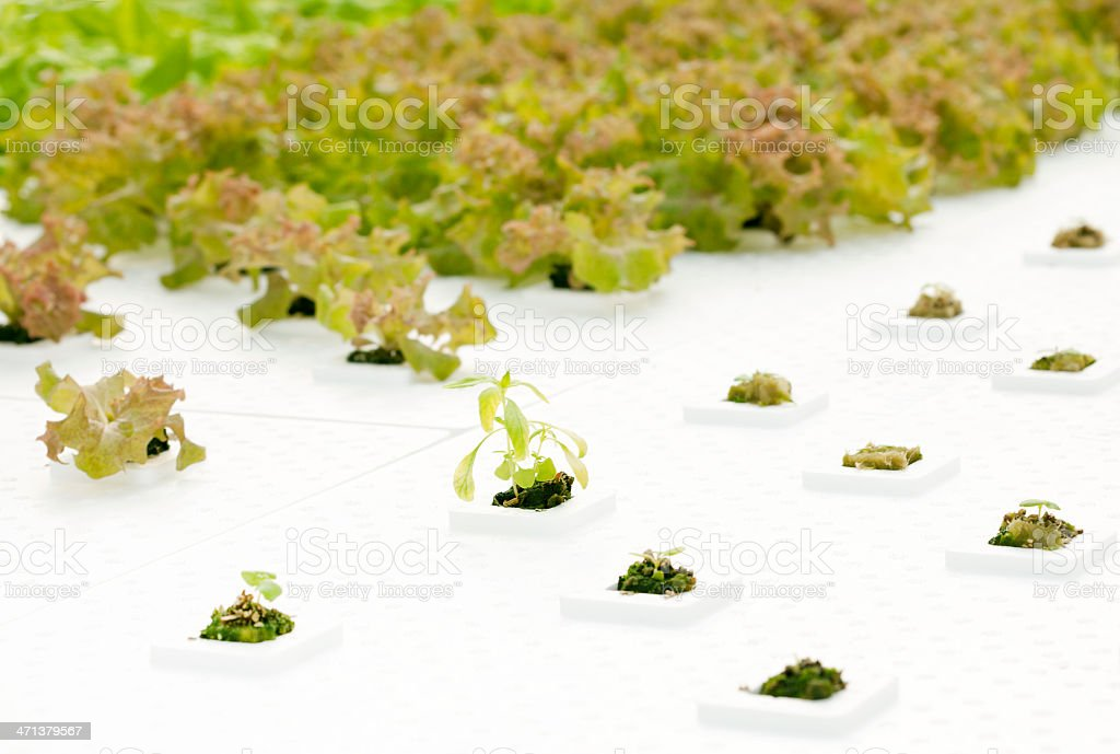 Hydroponic Herbs in Commercial Greenhouse stock photo