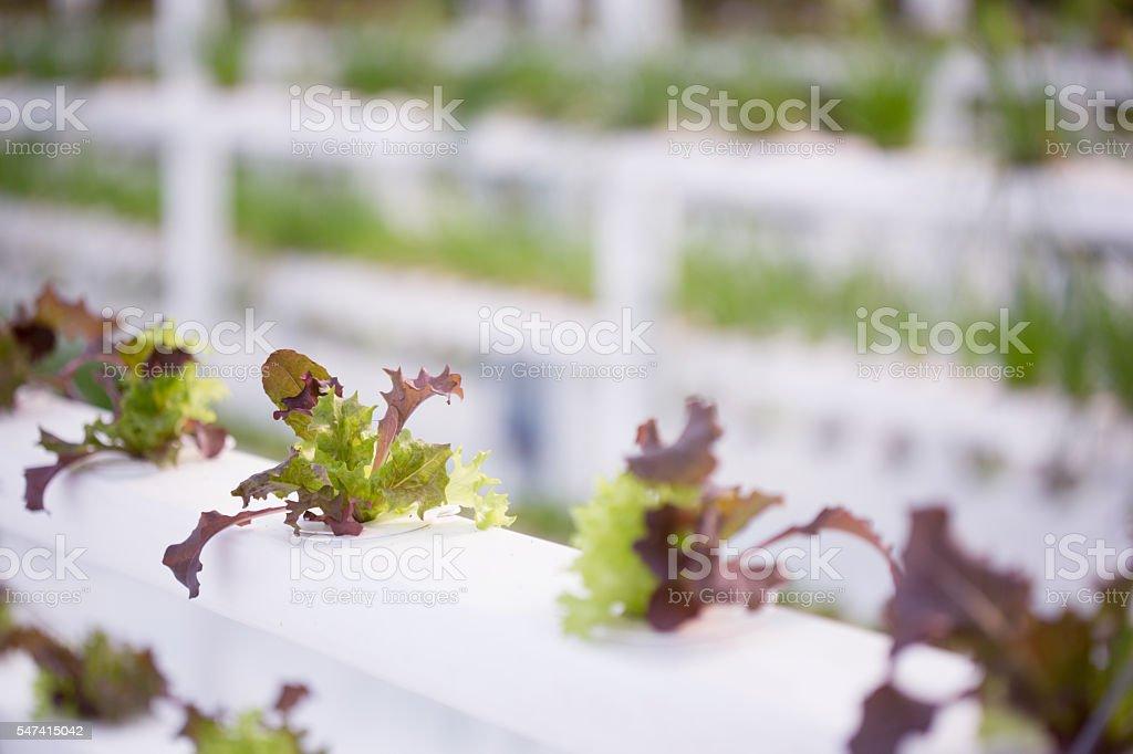 Hydroponic Lettuce Farm stock photo