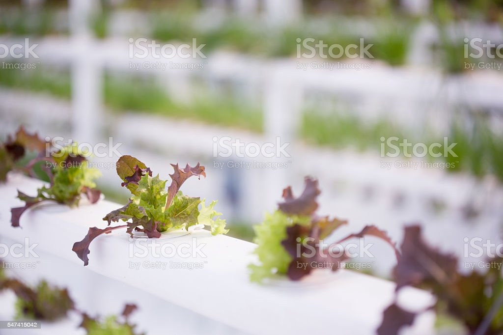 Hydroponic Lettuce Farm stock photo