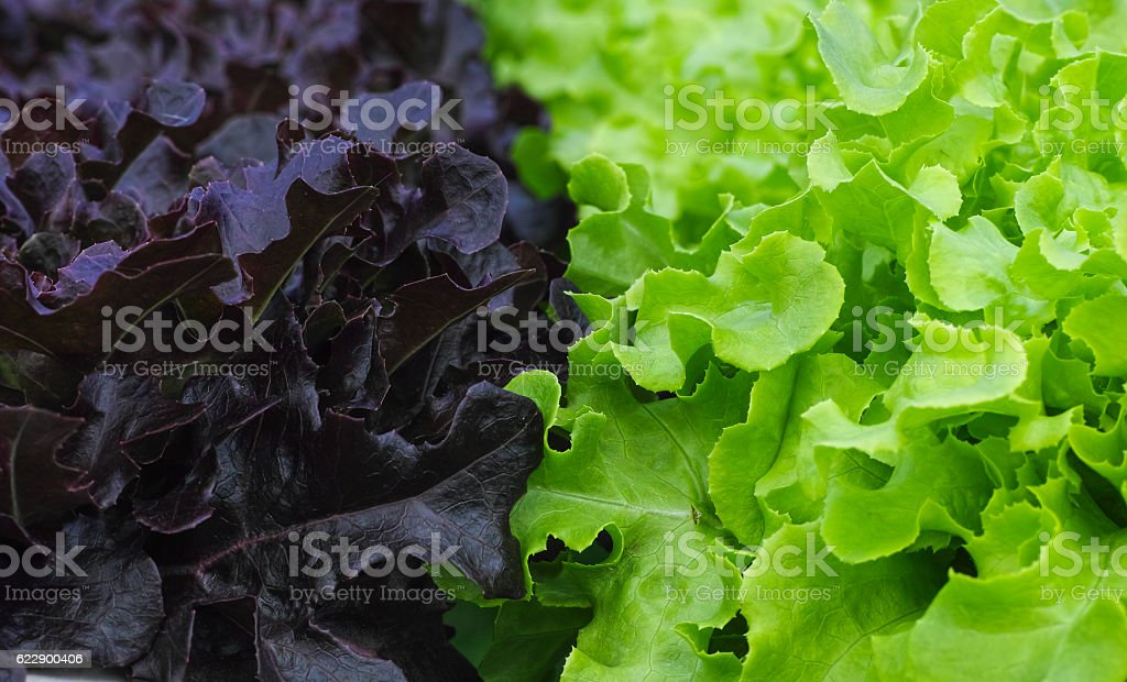 hydroponic lettuce growing stock photo