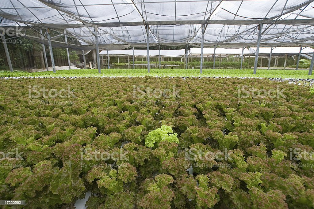 Hydroponic Lettuce in greenhouse royalty-free stock photo