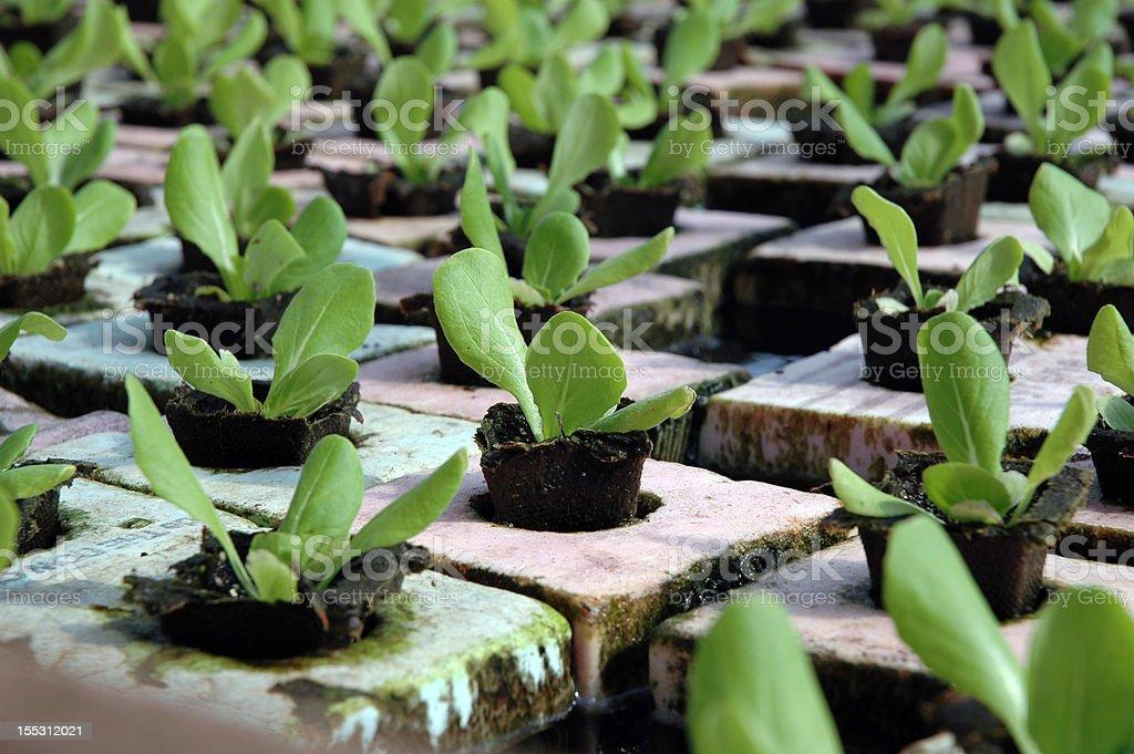 Hydroponic Lettuce royalty-free stock photo