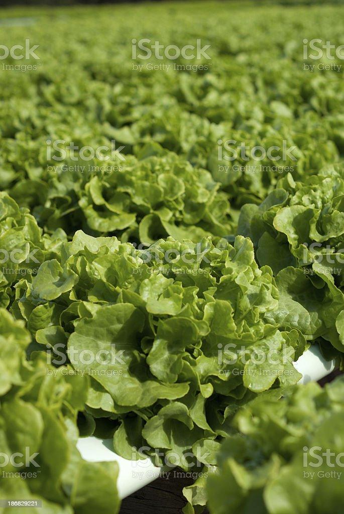 Hydroponic lettuce stock photo