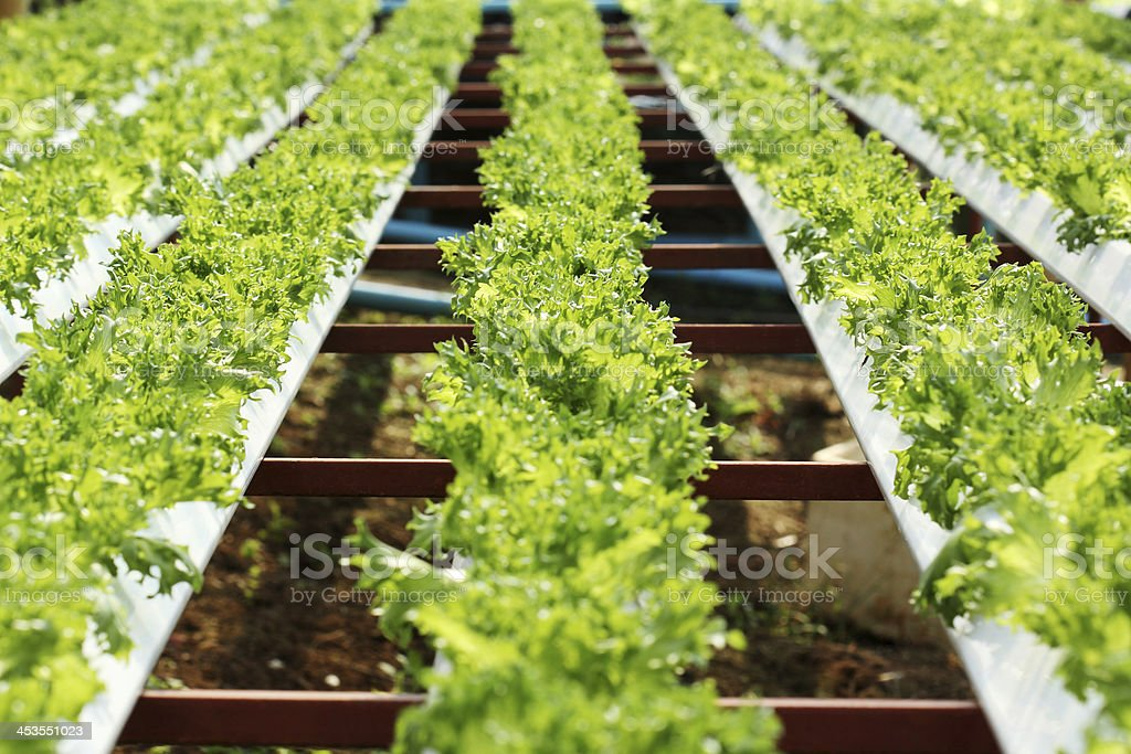 Hydroponic Lettuce royalty-free stock photo