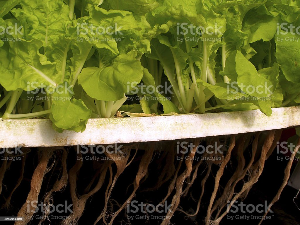 hydroponic salad vegetable stock photo