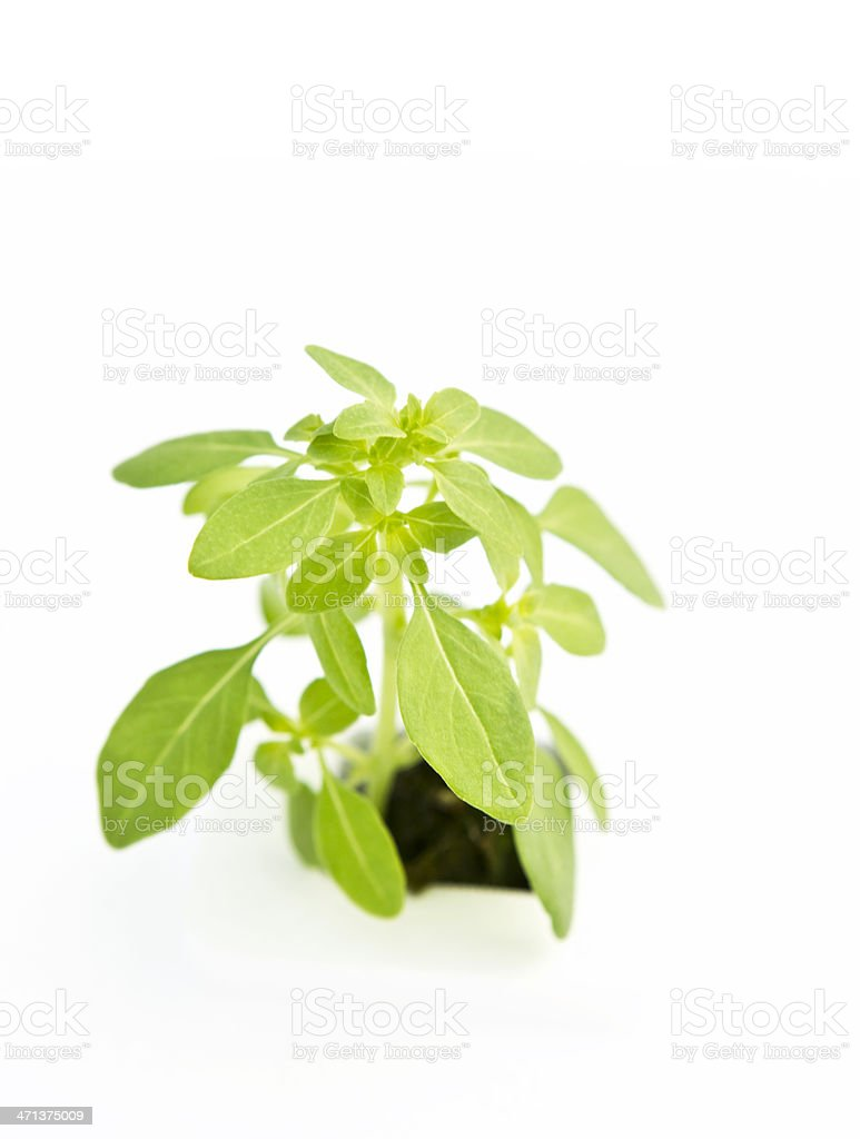 Hydroponic Spicy Globe Basil stock photo