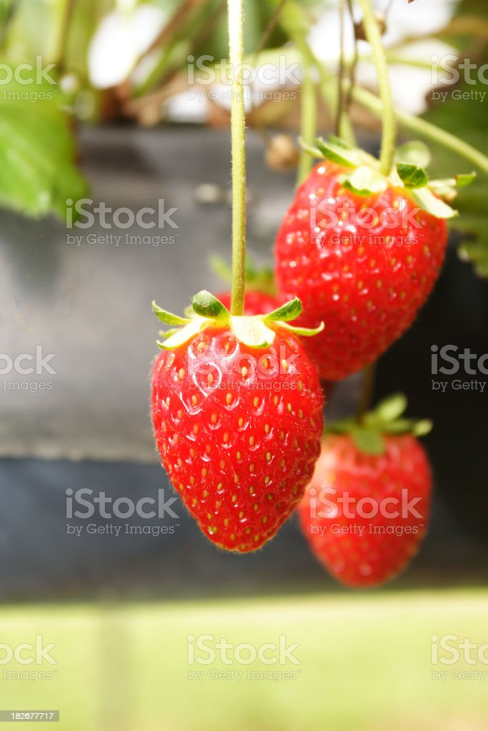 hydroponic strawberries royalty-free stock photo