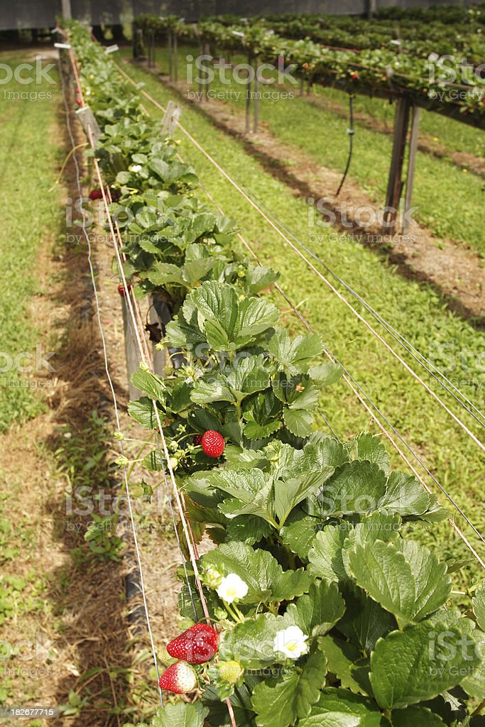 hydroponic strawberry production royalty-free stock photo